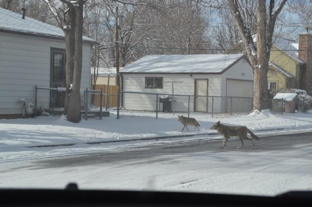 denver-coyote-2